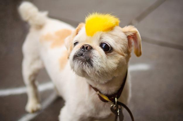 pet-wig-dog-yellow