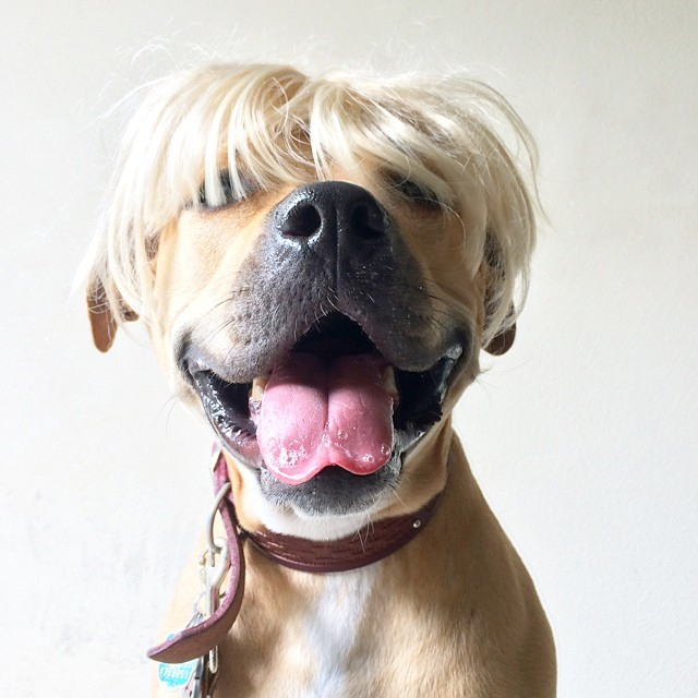 pet-wig-dog